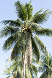 Palm tree with coconuts. Royalty Free Stock Photography