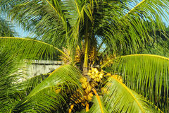 Palm tree with coconuts. In tropic city park or forest Stock Photo