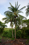 Palm tree with coconuts in tropical destination Stock Images