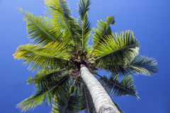 Palm tree with coconuts Stock Photos