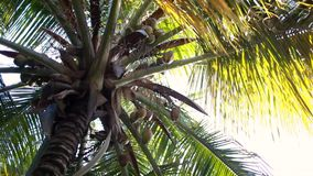 Palm tree with coconuts. View from below stock video