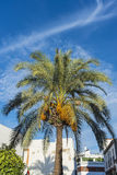 Palm Tree in Cordoba,, Spain. Stock Images