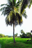Palm Tree at Countryside, Country Living, Country Landscape. Palm tree at rice paddy field countryside Stock Photography
