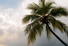 Palm tree crown against the sky with clouds .Horizontal view. Stock Image