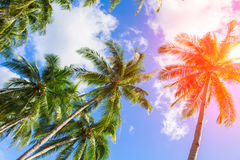 Palm tree crown on cloudy sky. Sunny tropical island toned photo. Sunshine on palm leaf. Red flare on coco palm trees. Tropical landscape with palms. Palm tree stock photography