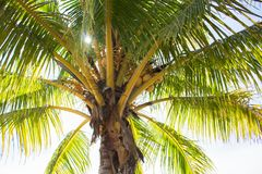 Palm tree crown with coconuts. Sunny day on tropical island. Coconut palm shadow with sun backlight photo. Palm tree leaves and fruits. Exotic place traveling Stock Image