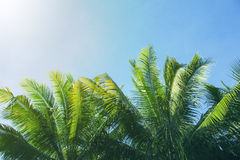 Palm tree crown with fluffy leaves on blue sky background. Palm on sky toned photo. Stock Image