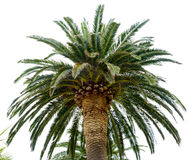 Palm Tree Crown in Sunlight on the Bright Sky Background Stock Photo