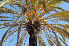 Palm tree crown Royalty Free Stock Images