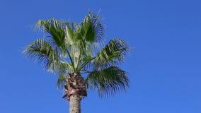 Palm on blue sky background. Palm tree on Cyprus - blue sky background stock video footage