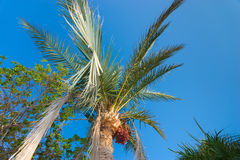Palm tree with data fruits against a beautiful blue sky. Palm tree with data fruits and another tree against a beautiful blue sky Royalty Free Stock Image