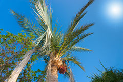 Palm tree with data fruits against a beautiful blue sky with bri. Palm tree with data fruits and another tree against a beautiful blue sky with bright sun Royalty Free Stock Photography