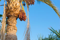 Palm tree with data fruits against a blue sky. On a sunny summer day Royalty Free Stock Image