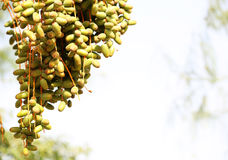 Palm Tree with date fruits Stock Images