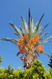 Palm Tree with date fruits. Palm Tree with date fruits onblue sky Stock Images