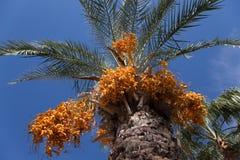 [Obrazek: palm-tree-date-fruits-sky-background-sel...965093.jpg]
