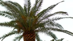 Palm tree. Date tree Montenegro. Palm tree. Date tree in Montenegro stock video