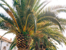 Palm tree. Date tree in Montenegro. Stock Photography