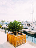 Palm tree. Date tree in Montenegro. Royalty Free Stock Image