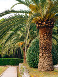Palm tree. Date tree in Montenegro. Royalty Free Stock Photo