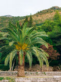 Palm tree. Date tree in Montenegro. Royalty Free Stock Images
