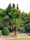Palm tree. Date tree in Montenegro. Stock Photos