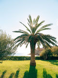 Palm tree. Date tree in Montenegro. Stock Images