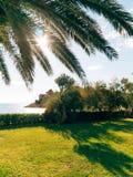 Palm tree. Date tree in Montenegro. Stock Photo