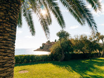 Palm tree. Date tree in Montenegro. Royalty Free Stock Photography