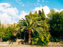 Palm tree. Date tree in Montenegro. Royalty Free Stock Photos