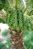 Palm Tree and Dates. A Palm Tree and Dates fruites in the Arabian Desert Stock Photography