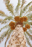 Palm Tree and Dates. A Palm Tree and Dates fruites in the Arabian Desert Stock Photos