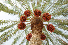 Palm Tree and Dates Stock Photography
