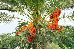 Palm tree with Dates. Bunch of dates on a palm tree Stock Image