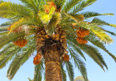 Palm Tree and Dates. Delicious fresh dates growing on a palm tree Stock Photo