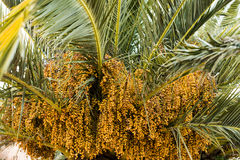 Palm tree dates of amber color. Close up. abstract textured natural background. Lifestyle royalty free stock photography