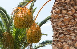 Palm tree with dates Stock Photos
