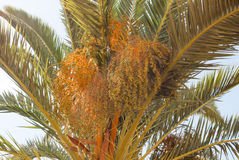 Palm tree with dates Stock Images