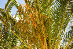Palm tree with dates Royalty Free Stock Photos