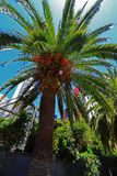 Palm Tree with Dates Fruit Royalty Free Stock Photos
