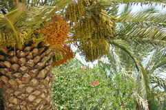 Palm tree, dates Stock Image