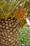 Palm tree, dates Stock Image