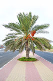 Palm tree with Dates on middle of road Royalty Free Stock Photography