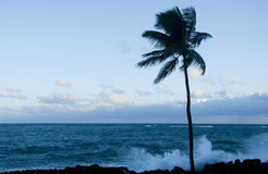Palm tree at dawn. On beach in Puerto rico Stock Images
