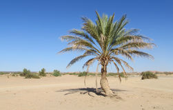 Palm tree in desert Royalty Free Stock Photography