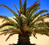 Namibia, Walvis Bay, Palm Tree on front of Dune royalty free stock photo