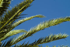 Palm tree detail on blue sky. Palm tree leaves detail on blue sky Royalty Free Stock Photography