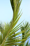 Palm tree leaves. Palm tree detail, blue sky and summer chill Stock Image