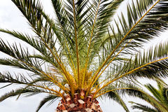 Palm tree detail Royalty Free Stock Photography