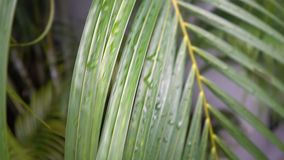Palm Tree With Dew Drops on Leaves. Shot with a Sony a6300 fps29,97 4k stock footage